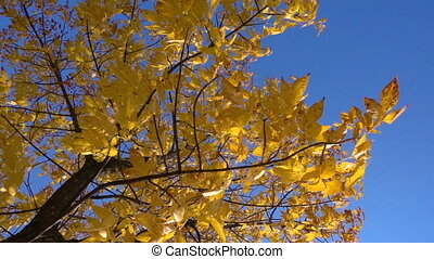 Autumn tree with golden leaves at blue sky, slow motion...