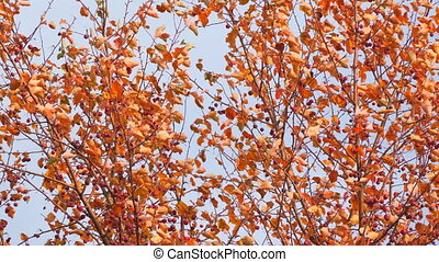 Autumn tree with red leaves and small fruits in the wind....