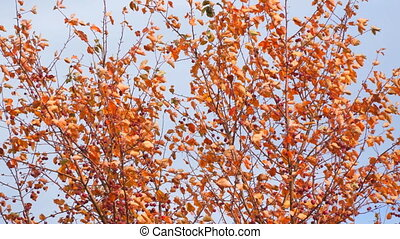 Autumn tree with red leaves and small fruits in the wind