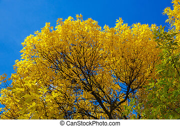 autumn tree with yellow leaves against the blue sky