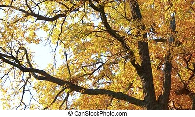 Autumn tree with yellow leaves in fall. Tree with ornage and...