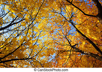 Autumn tree - Yellow and red leaves on maple tree against...