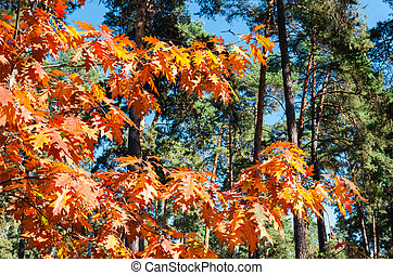 Autumn trees against a clear blue sky. Bright yellow oak and tall pine trees in the autumn park on a sunny day