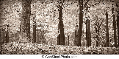 Autumn trees, black and white - Autumn forest scene in black...