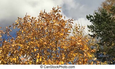 autumn trees swaying in the wind