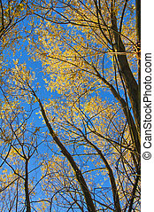 Autumn trees with yellow leaves.