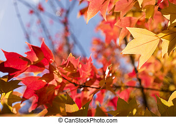 Close up of autumn Trident maple leaf and blurs
