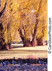 Geese in Windy Willows