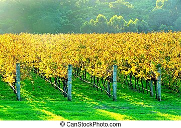autumn vineyard in late afternoon