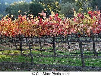 Autumn. Vineyard.