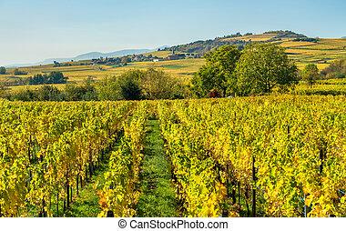Autumn vineyards in Haut-Rhin - Alsace, France - Autumn...