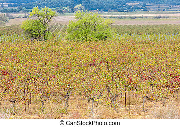 autumn vineyards in Provence, France