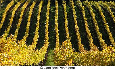 Autumn vinyard in Adelaide hills winery