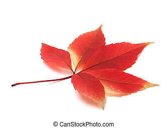 Autumn virginia creeper leaves