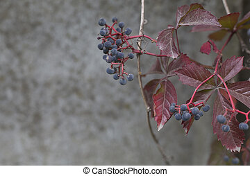 Autumn virginia creeper on a concrete wall background - The...