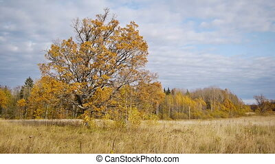 Autumn walk on background of lonely old oak tree - View of...