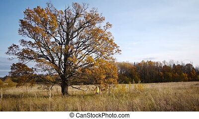 Autumn walk on background of lonely old oak tree