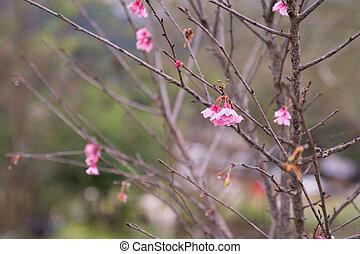 Autumn Wild Himalayan cherry on tree branch