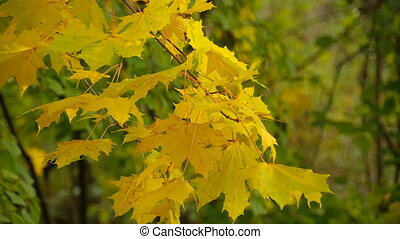 autumn wind moves yellow maple leaves close-up