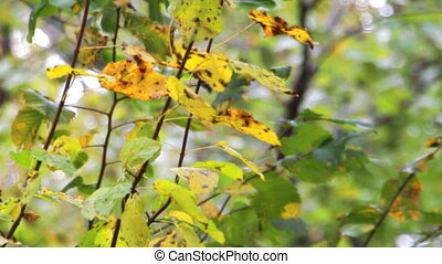 Autumn leaves in the wind - Autumn Withered leaves swing the...