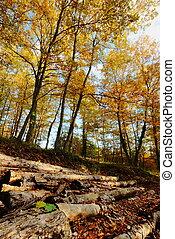 Autumn woodland and trunks