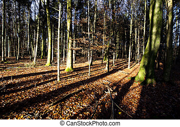 Autumn woodland scene with late afternoon sun casting long ...