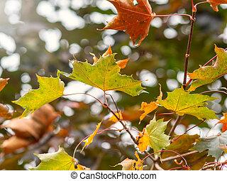 Autumn Yellow and Orange Maple Leaves