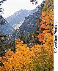 Autumn - Yellow aspens in autumn, Colorado.