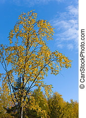 Autumn yellow birch