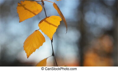 Autumn Yellow Birch Leaves Swaying