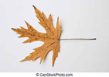 yellow dry leaf