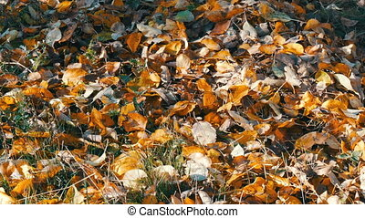 Autumn yellow fallen leaves on a ground in the forest -...