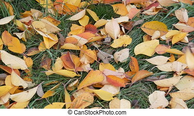 Autumn yellow fallen leaves on green grass in park