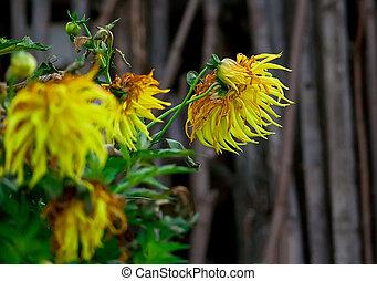 Autumn yellow flowers