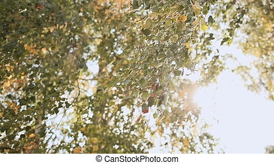 Autumn. Yellow-green birch leaves in the wind in the sunshine. Closeup.