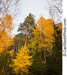 autumn yellow larch - yellow larch on a background of green ...