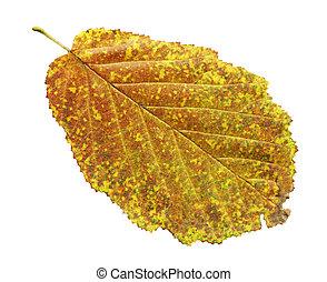 Autumn yellow leaf of black alder isolated on white