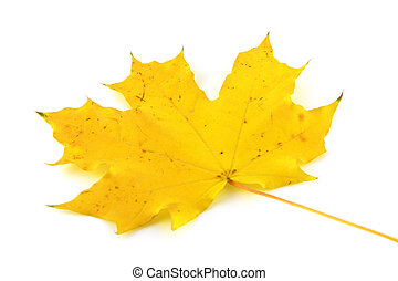 Autumn yellow leaf of maple
