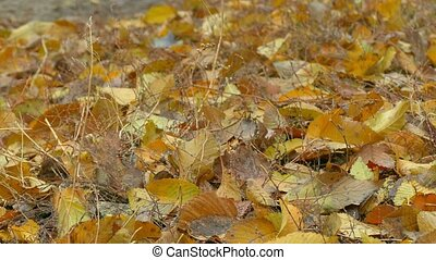 autumn yellow leaves lie on ground background