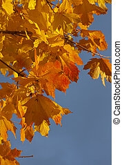 yellow leaves of a maple
