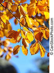 Autumn yellow leaves of aspen.