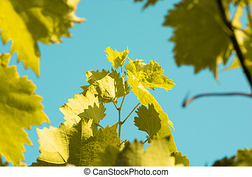 autumn yellow leaves of grapes against the sky