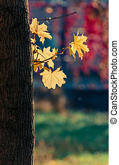 Autumn yellow leaves on a trunk of a maple tree