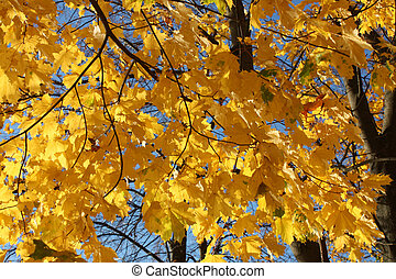 autumn. yellow leaves, on blue sky background