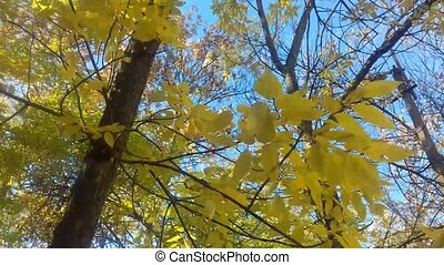 Autumn. Yellow leaves swaying in the wind