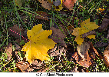 Autumn yellow maple leaf on green grass