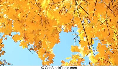 Autumn yellow maple leaves - Autumn trees with yellow maple...