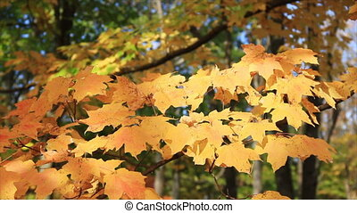 Autumn Yellow Maple Leaves HD Loop