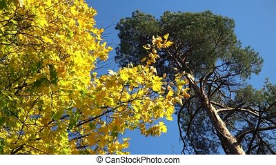 Autumn Yellow Maple Leaves on a Tree and Blue Sky
