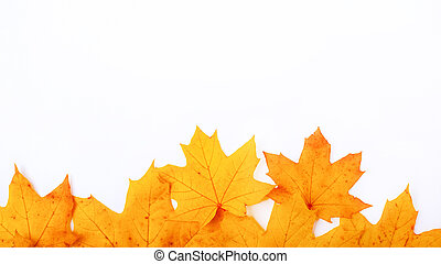 autumn yellow maple leaves on white background, frame autumn day with copy space